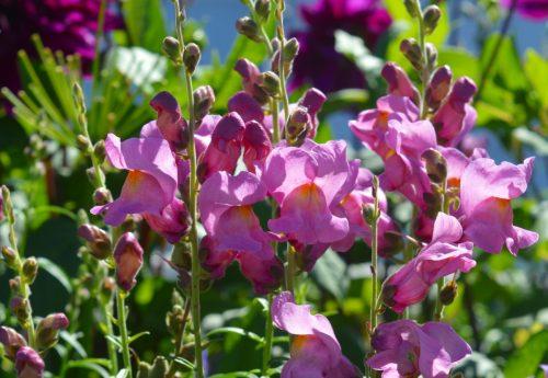 loewenmaeulchen_flower_flowers_pink_pink_flowers_garden_summer_summer_flower-519743