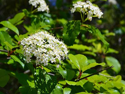 8 florida friendly trees shrubs to plant on your property thick trunks and flowering white blooms decorating this tree the rusty blackhaw is one of the most beautiful and versatile florida approved trees mightylinksfo
