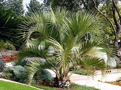 PINDO PALM, BUTIA CAPITATA, YOUNG SPECIMEN IN GARDEN
