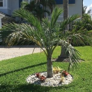 Ode To The Palm Tree Palms For Florida Yards Landcrafters Fl