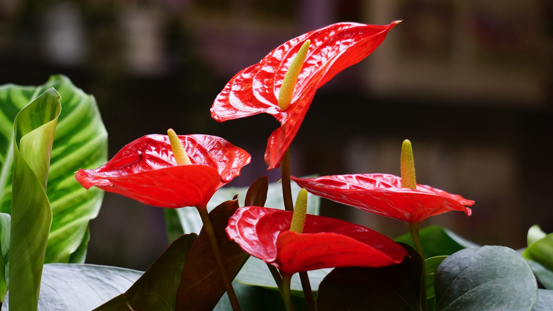 closeup of red flower