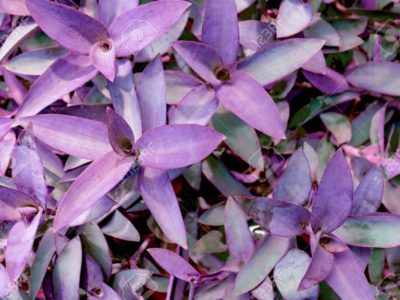 violet leaves pattern,leaf  tradescantia pallida or purple queen plant or purple heart in the garden