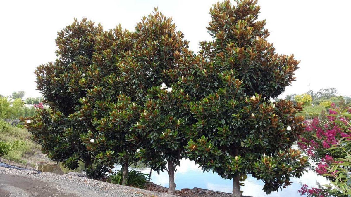southermagnolia